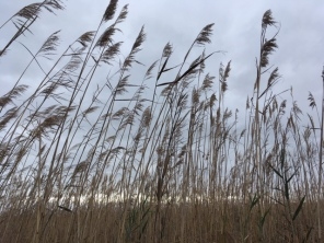 beachgrass